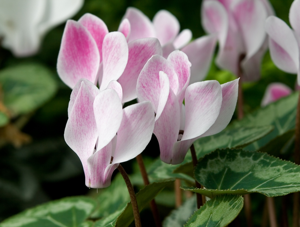 Cyclamen_'Stirling'
